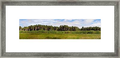 Grove Of Mexican Fan Palm Washingtonia Framed Print by Panoramic Images