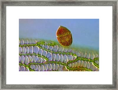 Gymnodinium Against Sphagnum Leaf, Lm Framed Print by Marek Mis
