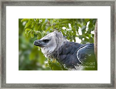 Harpy Eagle Framed Print by Mark Newman