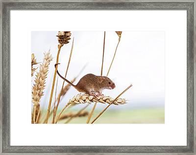 Harvest Mouse On Wheat Framed Print
