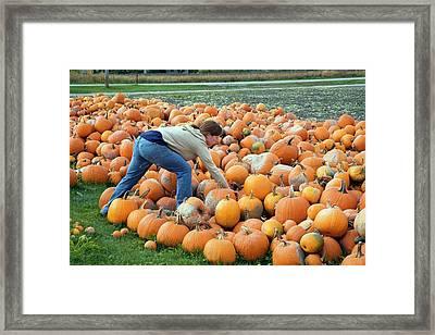 Harvested Pumpkins Framed Print by Jim West