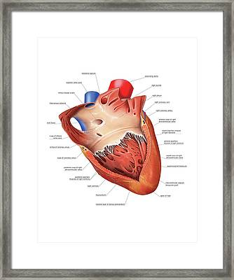 Heart Atrium And Ventricle Framed Print