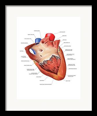 Right Ventricle Framed Prints