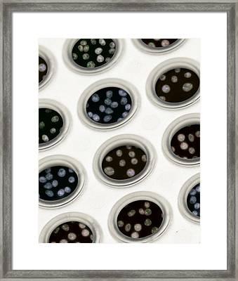 Hela Cells, Hipmap Framed Print by Science Source
