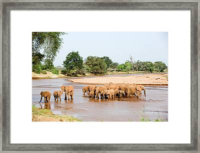 Herd Of African Elephants Loxodonta Framed Print by Panoramic Images