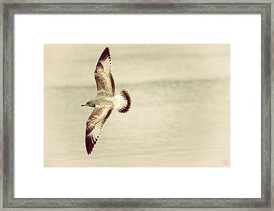 Herring Gull In Flight Framed Print by Karol Livote