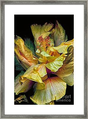 Hibiscus Framed Print by Nicola Fiscarelli