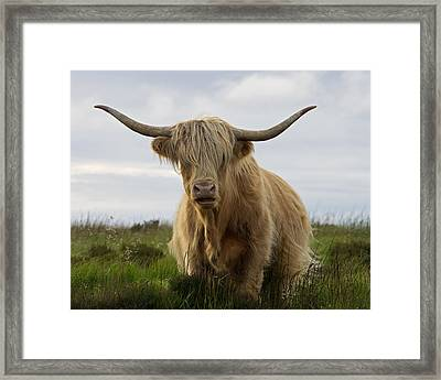 Highland Cow On Exmoor Framed Print