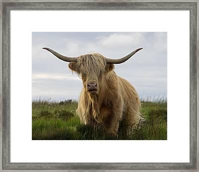 Highland Cow On Exmoor Framed Print