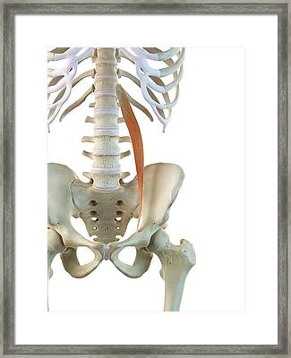 Hip Muscle Framed Print