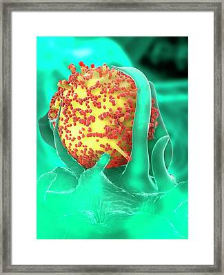 Hiv Particles And Dendritic Cell Framed Print by Ramon Andrade 3dciencia