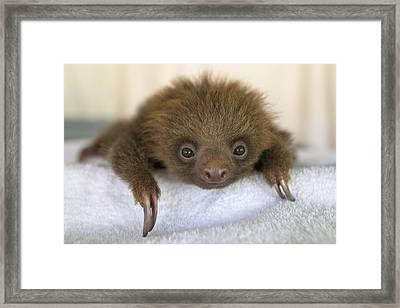 Hoffmanns Two-toed Sloth Orphan Framed Print by Suzi Eszterhas