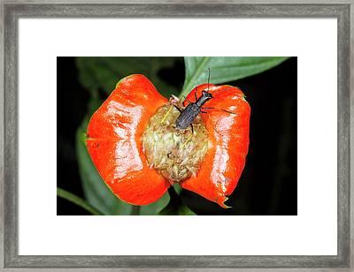 Hot Lips Plant (psychotria Poeppigiana) Framed Print