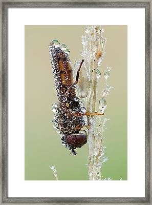 Hoverfly Framed Print by Heath Mcdonald