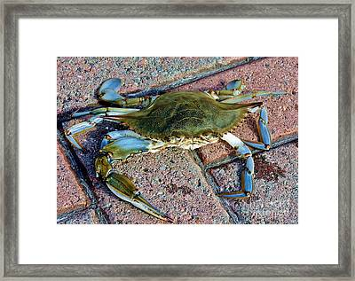 Framed Print featuring the photograph Hudson River Crab by Lilliana Mendez