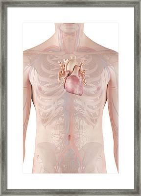 Human Heart Framed Print by Sciepro