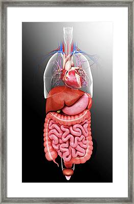 Human Internal Organs Framed Print