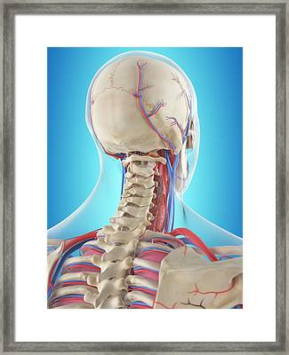 Human Neck Anatomy Framed Print by Sciepro