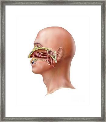 Human Olfactory System, Artwork Framed Print by Bo Veisland
