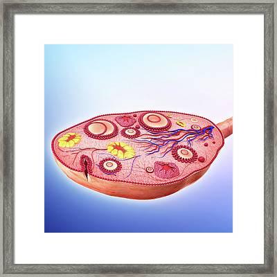 Human Ovary Framed Print