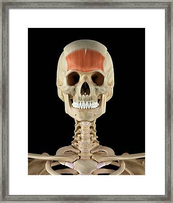 Human Skull Muscles Framed Print by Sciepro