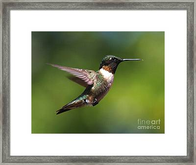 Hummer In Flight Framed Print by Douglas Stucky