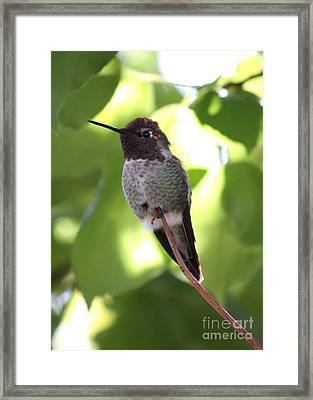Hummingbird Hangout Framed Print by Carol Groenen