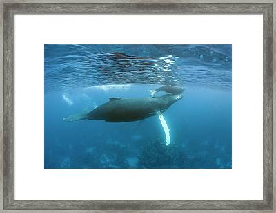 Humpback Whale Mother And Calf Framed Print by Ethan Daniels