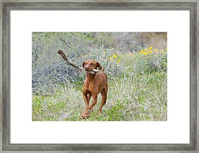 Hungarian Vizsla Retrieving A Stick Framed Print by William H. Mullins