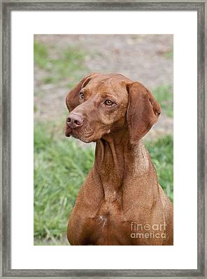 Hungarian Vizsla Framed Print by William H. Mullins