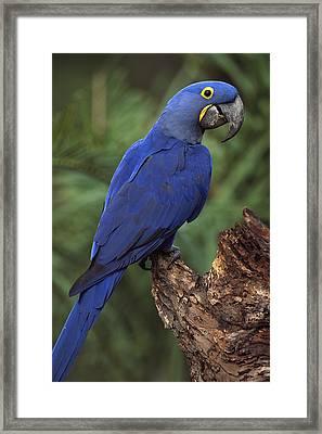 Hyacinth Macaw Brazil Framed Print
