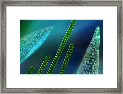 Hyalotheca Against Sphagnum Leaf, Lm Framed Print by Marek Mis