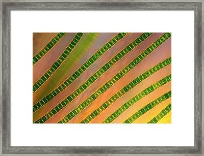 Hyalotheca Desmids Framed Print by Marek Mis