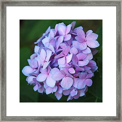 Hydrangea Framed Print by Rona Black