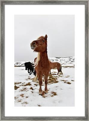 Icelandic Horses Framed Print by Dr P. Marazzi