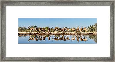 Impalas Aepyceros Melampus Framed Print by Panoramic Images