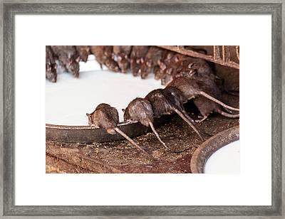 India, Rajasthan, Bikaner, Rats Framed Print by Alida Latham