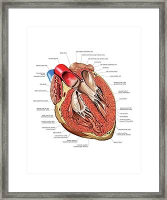 Internal View Of The Heart Framed Print by Asklepios Medical Atlas