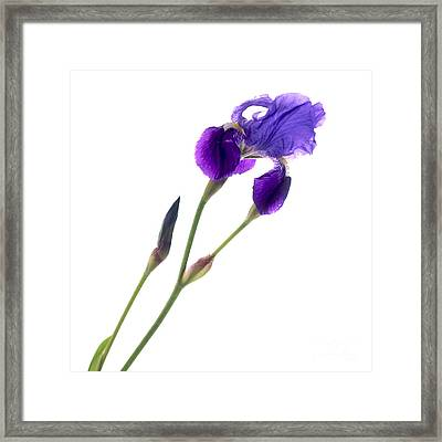 Iris Framed Print by Bernard Jaubert