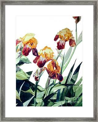 Watercolor Of Tall Bearded Irises I Call Iris La Vergine Degli Angeli Verdi Framed Print