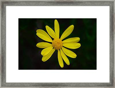 Isolated Daisy Framed Print by Debra Martz