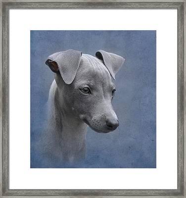 Italian Greyhound Puppy Framed Print by Angie Vogel