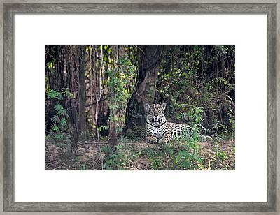 Jaguar Panthera Onca, Pantanal Framed Print by Panoramic Images