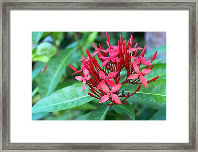 Jamaican Red Framed Print