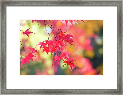 Japanese Maple In Autumn Color Framed Print