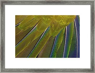 Jenday Conure Framed Print by Darrell Gulin