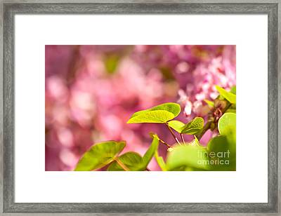 Judas Tree Flower And Leaves Framed Print by Leyla Ismet