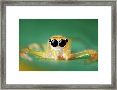 Jumping Spider Framed Print by Alex Hyde