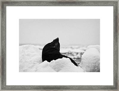 juvenile fur seal looking up stretching exaggerating size  floating on iceberg in Fournier Bay Antar Framed Print by Joe Fox
