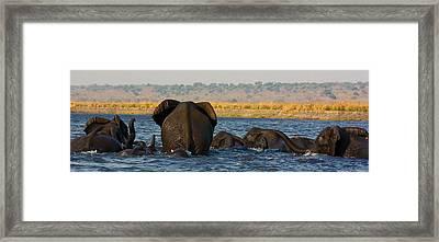 Framed Print featuring the photograph Kalahari Elephants Crossing Chobe River by Amanda Stadther